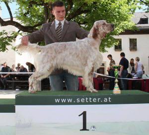 Irish Setter 1 Jahr Setters in Austria